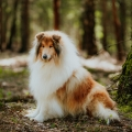 2020-asan-fellow-of-eternity-collie-rough-sable-stud-male_4.jpg