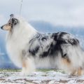 3r-Fantaisie-blue-merle-dlhosrsta-kolia-dollie-rough_1.jpg