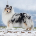 3r-Fantaisie-blue-merle-dlhosrsta-kolia-dollie-rough_2.jpg