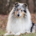 fantaisie-collie-rough-3y_1.jpg