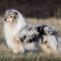 fantaisie-collie-rough-3y_10.jpg