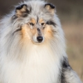 fantaisie-collie-rough-3y_12.jpg