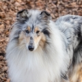 fantaisie-collie-rough-3y_13.jpg