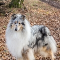fantaisie-collie-rough-3y_14.jpg