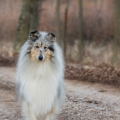 fantaisie-collie-rough-3y_15.jpg