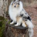 fantaisie-collie-rough-3y_2.jpg