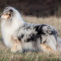 fantaisie-collie-rough-3y_3.jpg