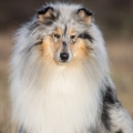fantaisie-collie-rough-3y_4.jpg