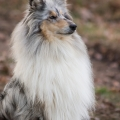 fantaisie-collie-rough-3y_6.jpg