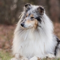 fantaisie-collie-rough-3y_7.jpg