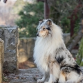 fantaisie-collie-rough-3y_8.jpg