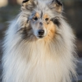 fantaisie-collie-rough-3y_9.jpg