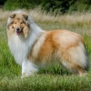 2-years-collie-rough-sable-asan-fellow-of-eternity 1