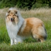 2-years-collie-rough-sable-asan-fellow-of-eternity 6