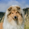 2-years-collie-rough-sable-asan-fellow-of-eternity 7