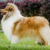 1r-blanche-fellow-of-eternity-collie-rough-female 2