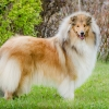 1r-blanche-fellow-of-eternity-collie-rough-female 3