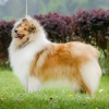 1r-blanche-fellow-of-eternity-collie-rough-female 4