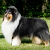damien-black-amnis-rhei-collie-rough-chropyne 2