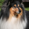 damien-black-amnis-rhei-collie-rough-chropyne 6
