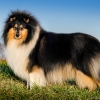 damien-black-amnis-rhei-kolia-dlhosrsta-collie-rough 0