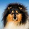 damien-black-amnis-rhei-kolia-dlhosrsta-collie-rough 1