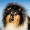 damien-black-amnis-rhei-kolia-dlhosrsta-collie-rough 2