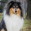 damien-black-amnis-rhei-kolia-dlhosrsta-collie-rough 215