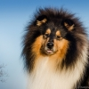 damien-black-amnis-rhei-kolia-dlhosrsta-collie-rough 3