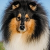 damien-black-amnis-rhei-kolia-dlhosrsta-collie-rough 4