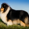 damien-black-amnis-rhei-kolia-dlhosrsta-collie-rough 8