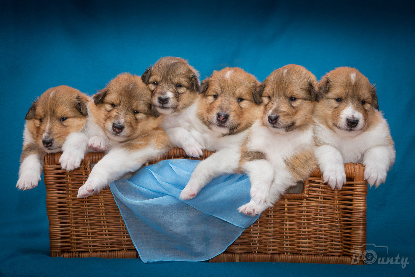 3weeks ch puppies collie web